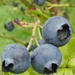 Heidelbeere Vaccinium ovatum 'Huckleberry'