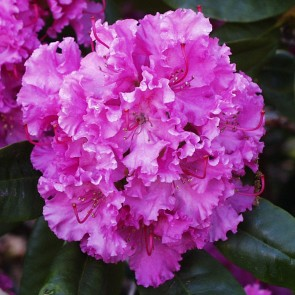 Rhododendron hybride 'Independence Day'