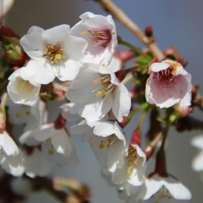 "Prunus ""Kojou-no-mai"""