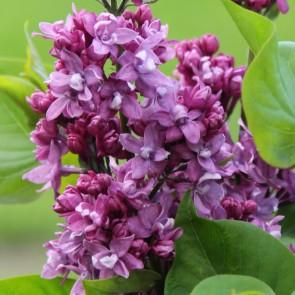 Flieder Syringa vulgaris 'Kolkhoznitsa'