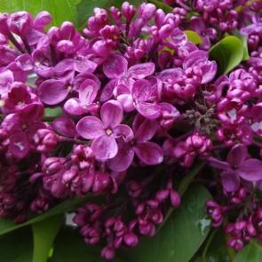 Flieder Syringa vulgaris 'Krasnaya Moskva'