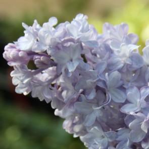 Flieder Syringa vulgaris 'Kruzhevnitsa'