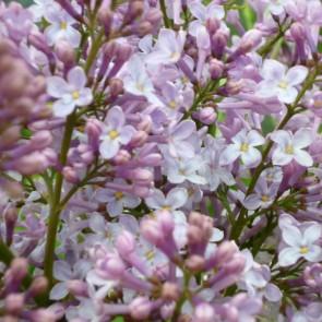 Flieder Syringa vulgaris 'Maréchal Foch'