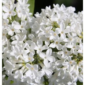 Flieder Syringa vulgaris 'Marie Legraye'