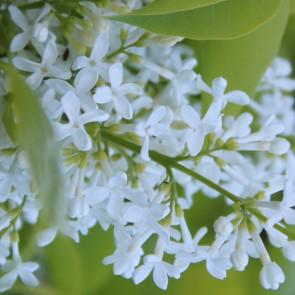 Flieder Syringa vulgaris 'Max and Ros'