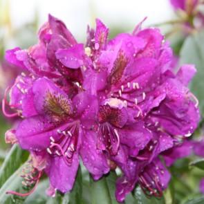 Rhododendron hybride 'Monsieur Marcel Ménard'