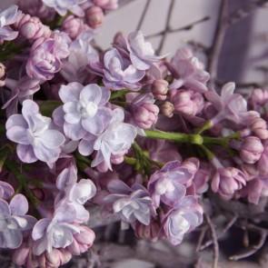 Flieder Syringa vulgaris 'Michel Buchner'