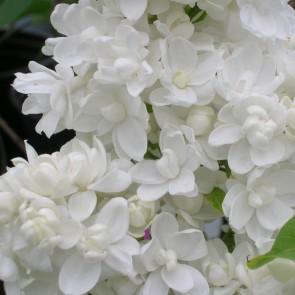 Flieder Syringa vulgaris 'Miss Ellen Wilmott'