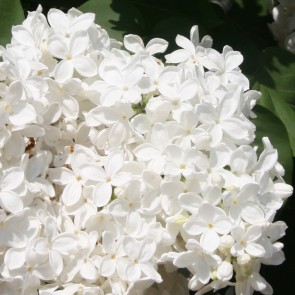 Flieder Syringa vulgaris 'Monument'
