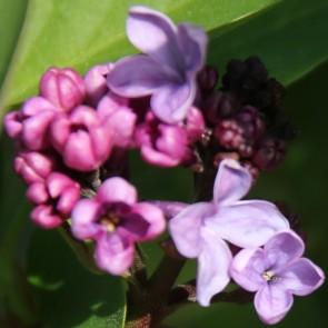 Flieder Syringa vulgaris 'Mrs Watson Webb'