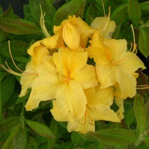 Azalea 'Nancy Waterer'
