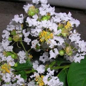 Lagerstroemia hybride 'Natchez'