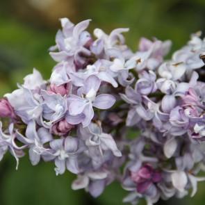 Syringa vulgaris 'Nebo Moskvy'