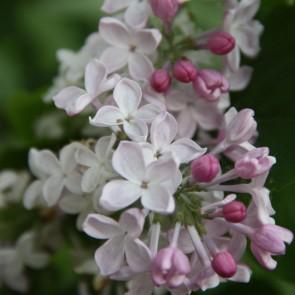 Syringa vulgaris 'Nevesta'
