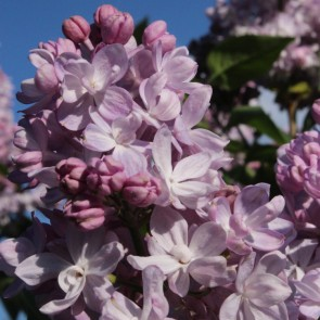 Flieder Syringa vulgaris 'Nezhnost'