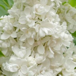 Syringa vulgaris 'Mme Casimir Périer'