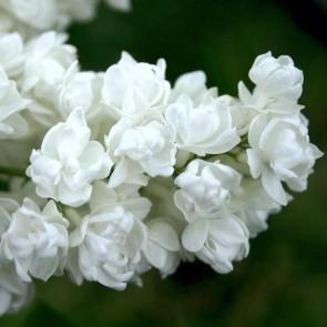 Flieder Syringa vulgaris 'Pamyat' o Kolesnikove'