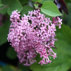 Zwergflieder Syringa meyeri 'Pink Perfume'