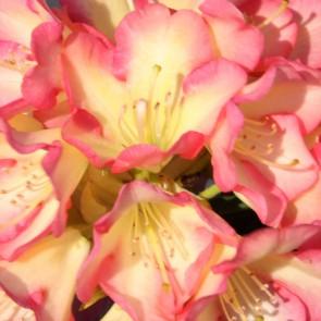 Rhododendron hybride 'Robert de Belder'