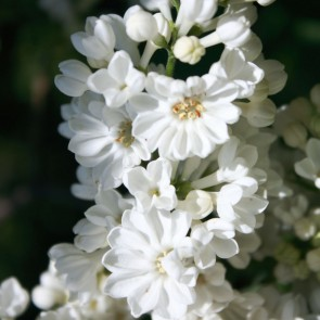 Flieder Syringa vulgaris 'Rochester'