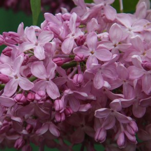 Syringa vulgaris 'Romance'