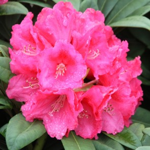 Rhododendron hybride 'Rote Liebe'