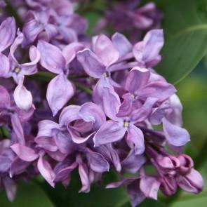 Flieder Syringa vulgaris 'Rus'
