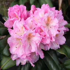 Rhododendron hybride 'Scintillation'