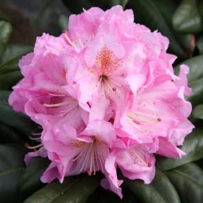Rhododendron hybride 'Seestadt Bremerhaven'