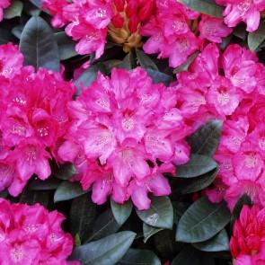 Rhododendron Yakushimanum 'Sneezy'