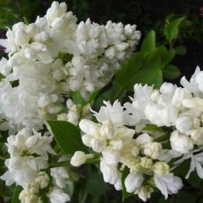 Flieder Syringa vulgaris 'Souvenir d'Alice Harding'