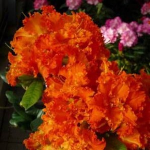 "Azalea ""Spanish Dancer®"""