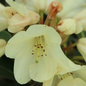Rhododendron hybride 'Stadt Westerstede'