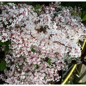 Zwergflieder Syringa microphylla 'Superba'