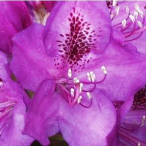 Rhododendron hybride 'Violett Blue'