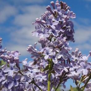 Flieder Syringa vulgaris 'Wedgwood Blue'