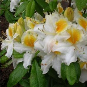 Azalea 'White Melody'
