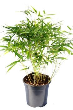 Bambus_2_Liter